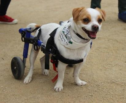 Silla de ruedas para perro con artrosis, displasia cadera perros, perro anciano