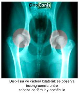 displasia cadera perros, artrosis perro, artrosis cadera