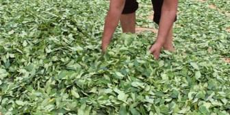 Gobierno asume el control del circuito de la coca en Bolivia; conozca la nueva Ley