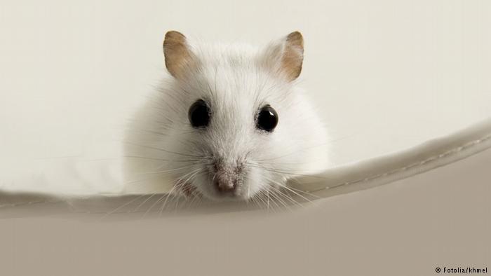 Hamster Maus Nagetier (Fotolia/khmel)