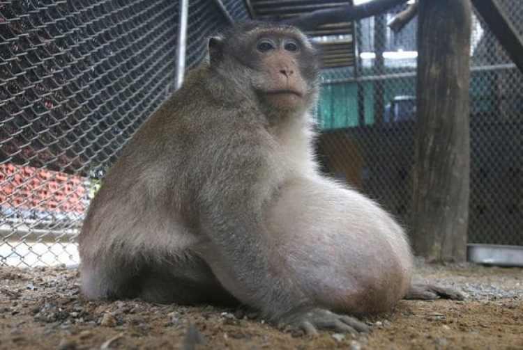 El macaco salvaje es obeso por comer comida chatarra y beber gaseosa arrojada por turistas del mercado Bang Khun Thian de Bangkok (AP)