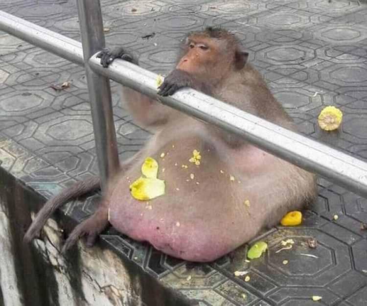 El macaco permanecía mucho tiempo del día sentado y comiendo, manteniendo un estilo de vida muy sedentario