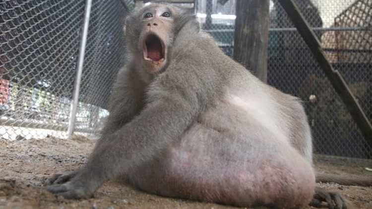 """""""Tío Gordo"""", un macaco salvaje obesorescatado de los suburbios deBangkok, en un centro de rehabilitación en Tailandia el 19 de mayo de2017. (AP)"""