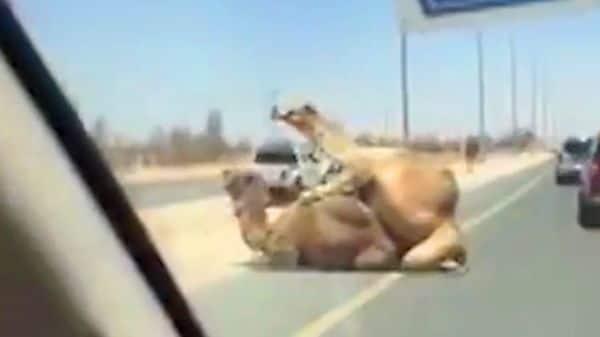Camellos copularon en la autopista y