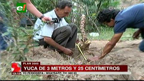 Cosechan una yuca de tres metros y 25 centímetros