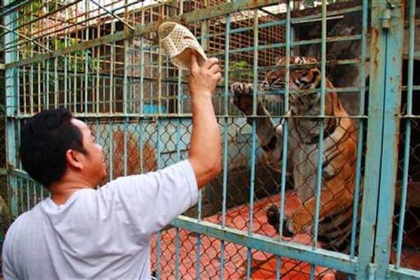 Granja de tigres en la provincia de Binh Duong al sur de Vietnam