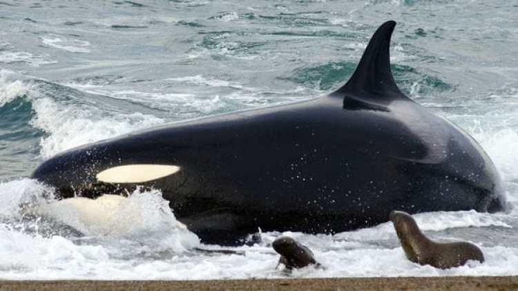 """Las gira con orcas, además de """"inspirar y educar a los visitantes sobre el cuidado y protección de los animales marinos"""", dará la oportunidad a los visitantes de compartir de cerca con estas especies"""