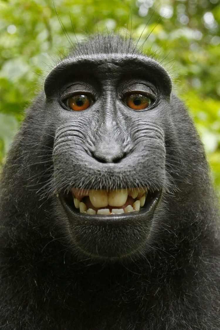 El animal tomó la cámara de Slater y disparó varias veces. Las imágenes que logró son geniales (David Slater)