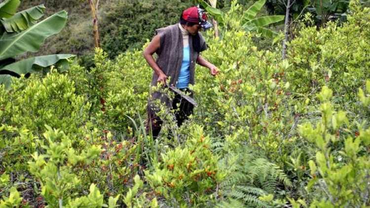 Las plantaciones de coca se duplicaron en Colombia en los últimos dos años