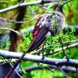 Declaran al colibrí cometa patrimonio de La Paz