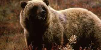 Tras 42 años, los osos pardos de Yellowstone dejan de estar en peligro de extinción