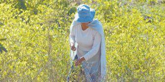 Cocaleros de Inquisivi amenazan con resistir la erradicación