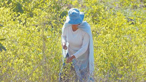 Una mujer cosecha coca en Yungas, hoja más requerida para el acullico.