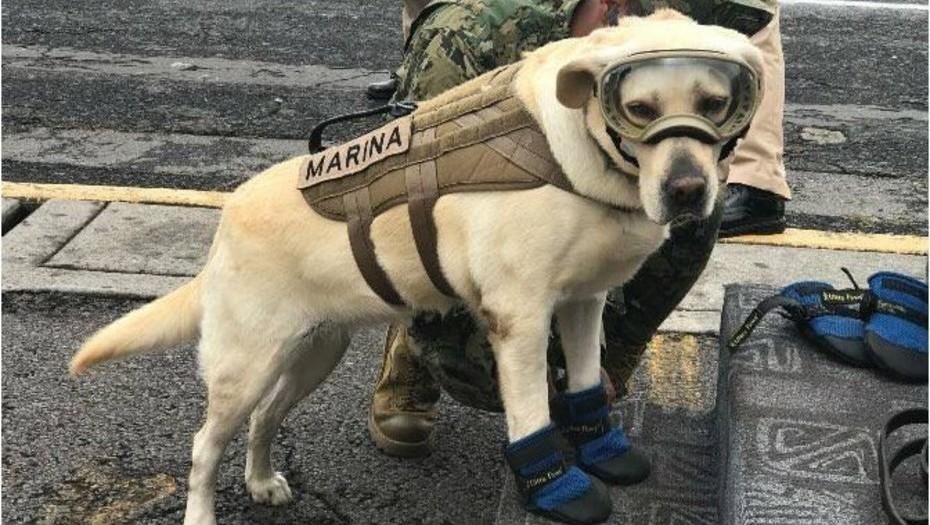 Terremoto en México: Frida, la perra rescatista que ayuda a salvar vidas
