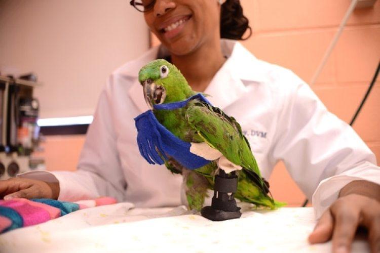 La inteligencia y la personalidad de Pete lo convirtió en un buen candidato para llevar una prótesis (Cortesía de Penn Vet)