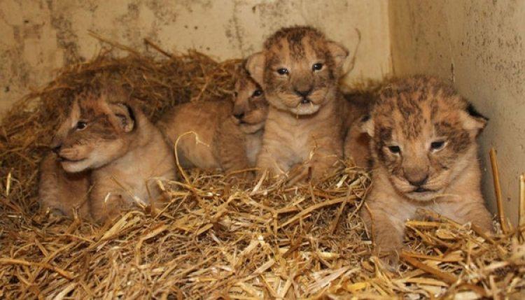 Cachorros de león (Foto: Zoo Boras)