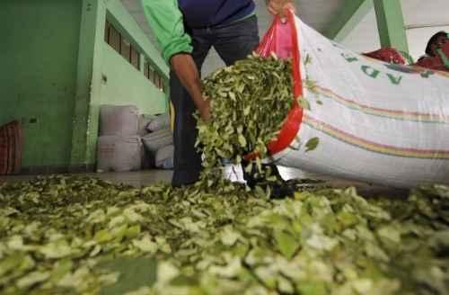 Resultado de imagen para industrializar la hoja de coca
