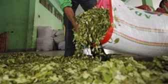 Gobierno ejecutó más de Bs 90 millones en proyectos para industrializar la hoja de coca