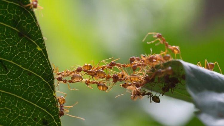 Los próximos pasos incluirán pruebas de hormigas contra otras bacterias, determinando qué sustancias producen los efectos antibióticos y cómo estos insectos los segregan o de dónde los obtienen