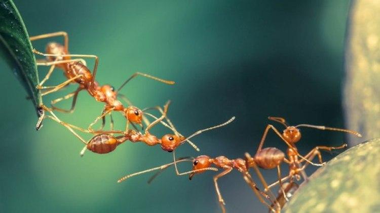 """""""Hay que explorar qué estrategias alternativas utilizan las hormigas para defenderse contra los patógenos bacteriológicos"""", aseguró Smith (Istock)"""