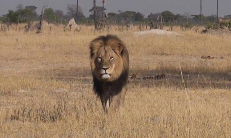 El león Cecil (Archivo)