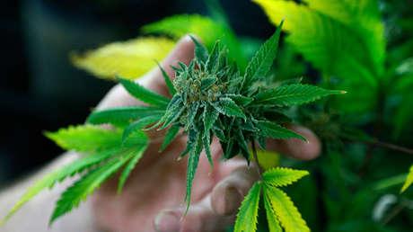 Una planta de marihuana en una tienda en Northglenn, Colorado (EE.UU.), el 31 de diciembre de 2013.