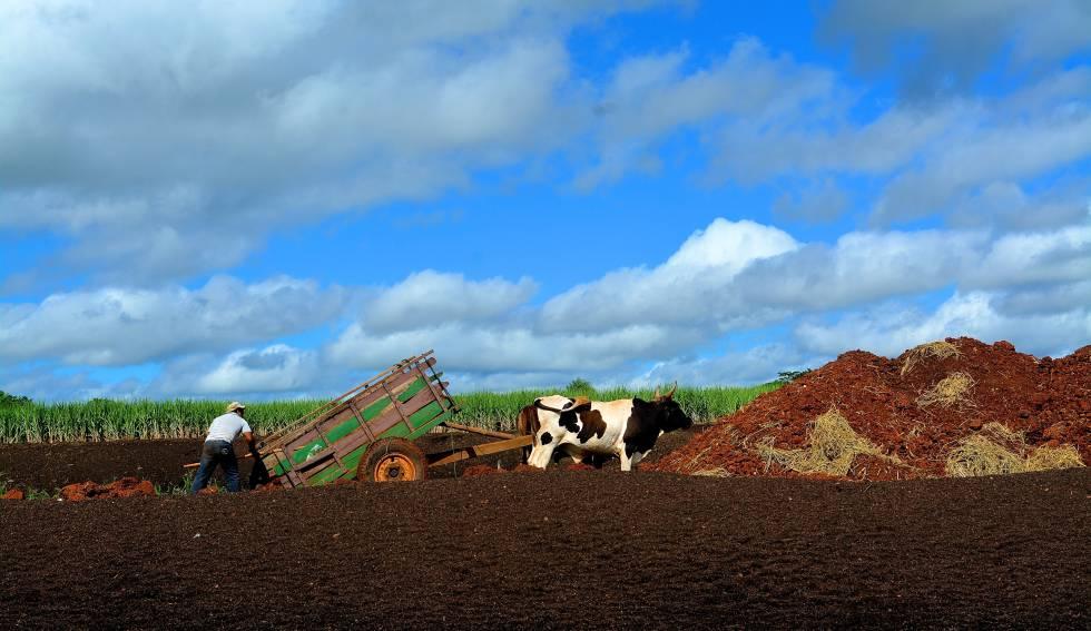 Plantación de caña ecológica en Arroyos y Esteros (Paraguay).