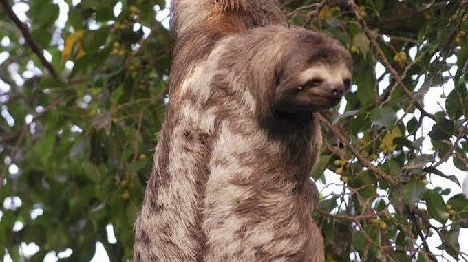 Nuevo hallazgo determina que humanos cazaban perezosos gigantes hace ...
