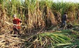 Productores cañeros y Gobierno acuerdan producir etanol