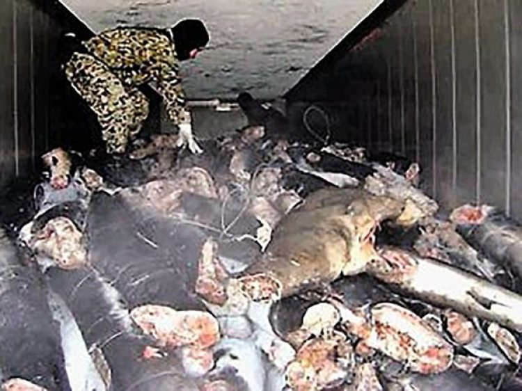 En los cuerpos de los tiburones muertos iba escondida la cocaína incautada en Puerto Progreso, Yucatán. (Cortesía Diario de Yucatán)