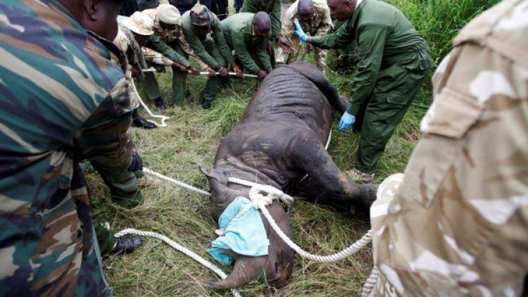 El personal del Servicio de Vida Silvestre de Kenia trata a una rinoceronte sedada para su transporte (Reuters)