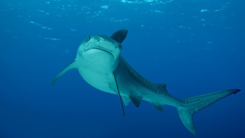 VIDEO: Gran tiburón aparece en una playa y causa el pánico en EE.UU.