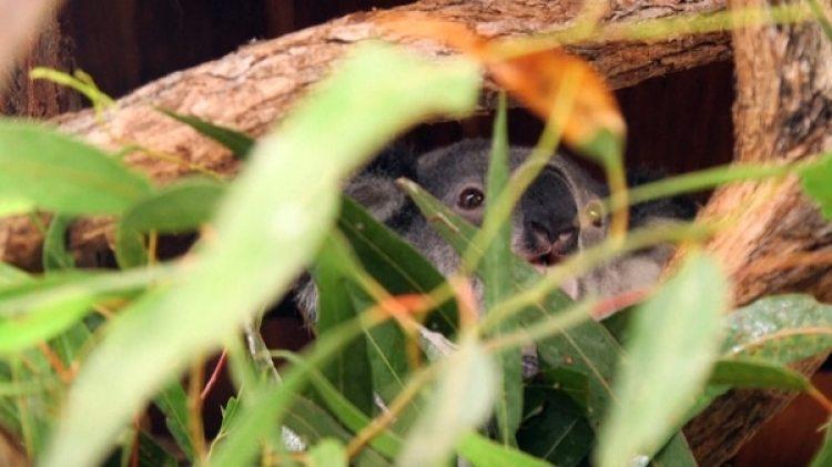 Un koala australiano en su hábitat natural (Archivo)