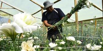Flores. La demanda internacional es alta, pero las exportaciones desde Cochabamba no logran florecer