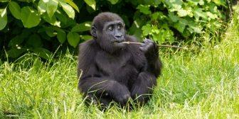 Los gorilas de montaña arriesgan su vida y cometen locuras por la falta de sal