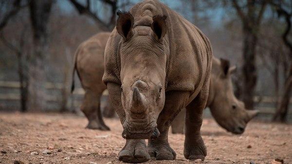 Algunos traficantes pagan hasta USD 85.000 por cada permiso de caza de rinoceronte. (AFP)