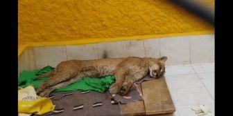 Puma andino murió por estrés post captura, según autoridades de Oruro