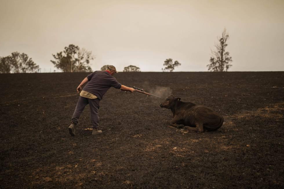 Un ganadero mata a una vaca que agoniza.