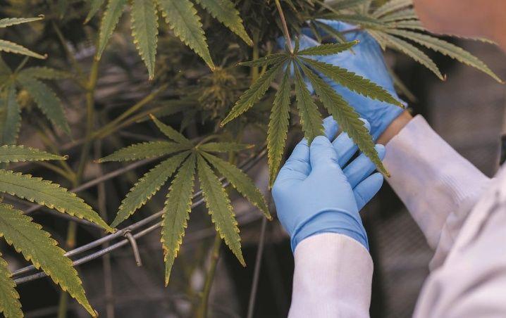 cannabis cientifico covid