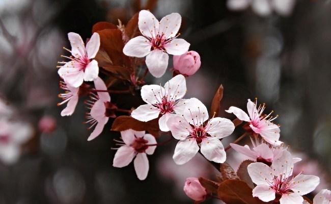 Free fotók: Cseresznyeszilva vagy mirabolán virág2 (Prunus cerasifera)