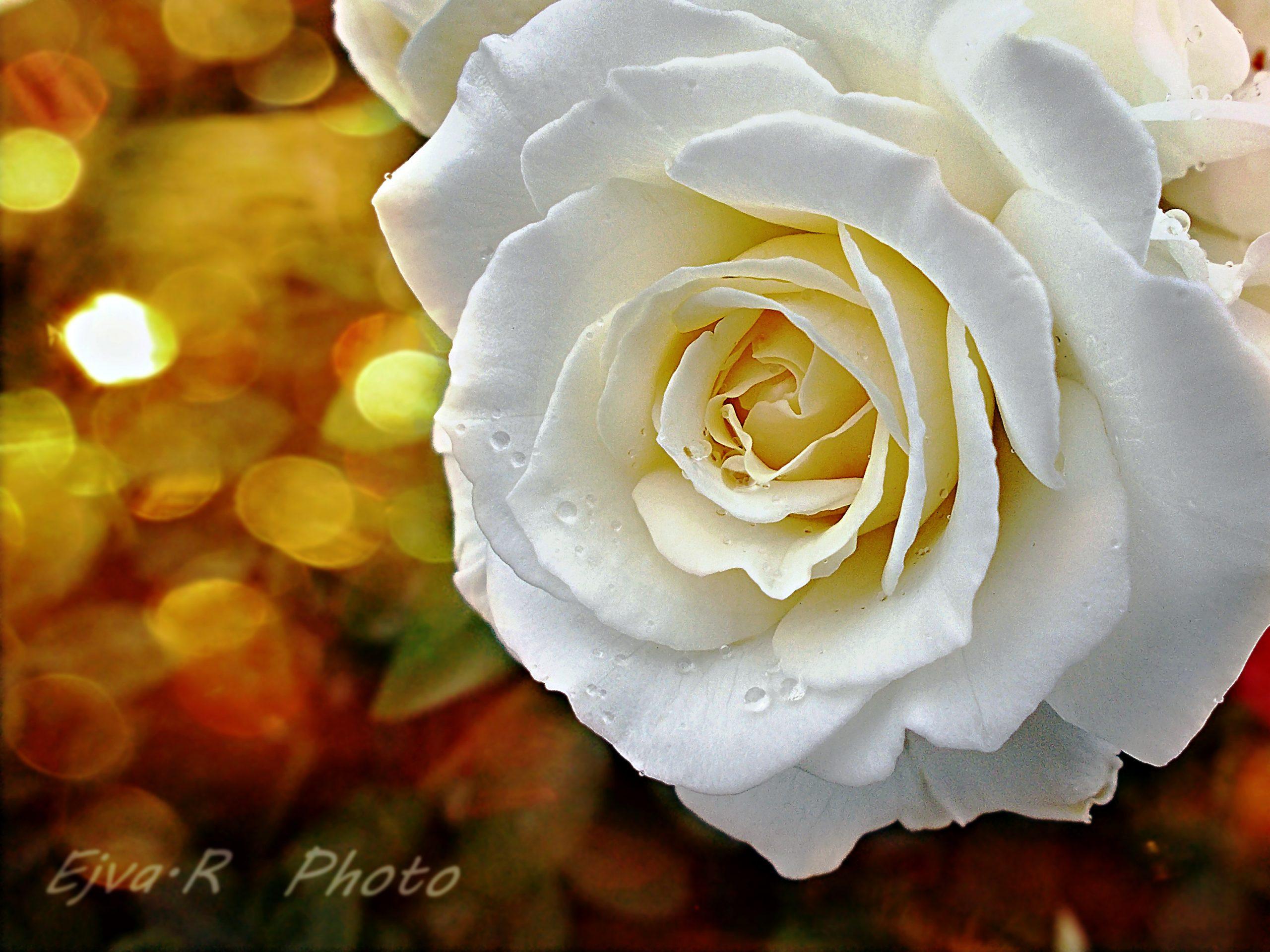 Rózsa Nőnapra Névnapra Szülinapra