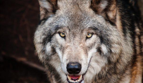 Régi fejtörő: A kecske, a káposzta és a farkas