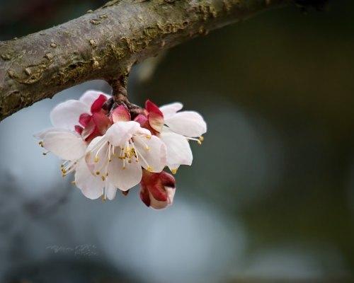 Free letölthető fotó: Tavaszi gyümölcsvirág