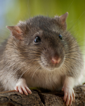 Rats feed on dead man's body