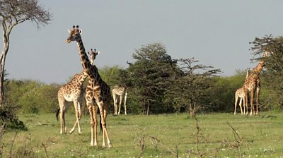 The Nashulai conservancy, on the edge of the Maasai Mara, is reviving ancient practices to protect the environment.