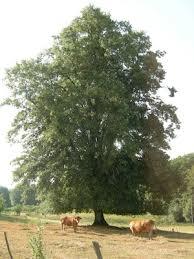 Des arbres voués à Satan