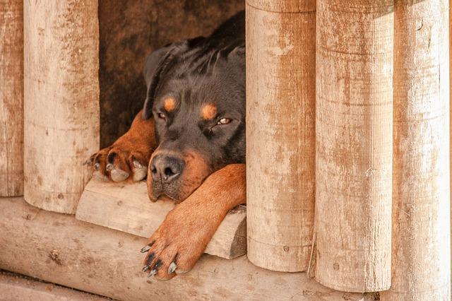 Jak zbudować budę dla psa dopasowaną do wielkości kojca