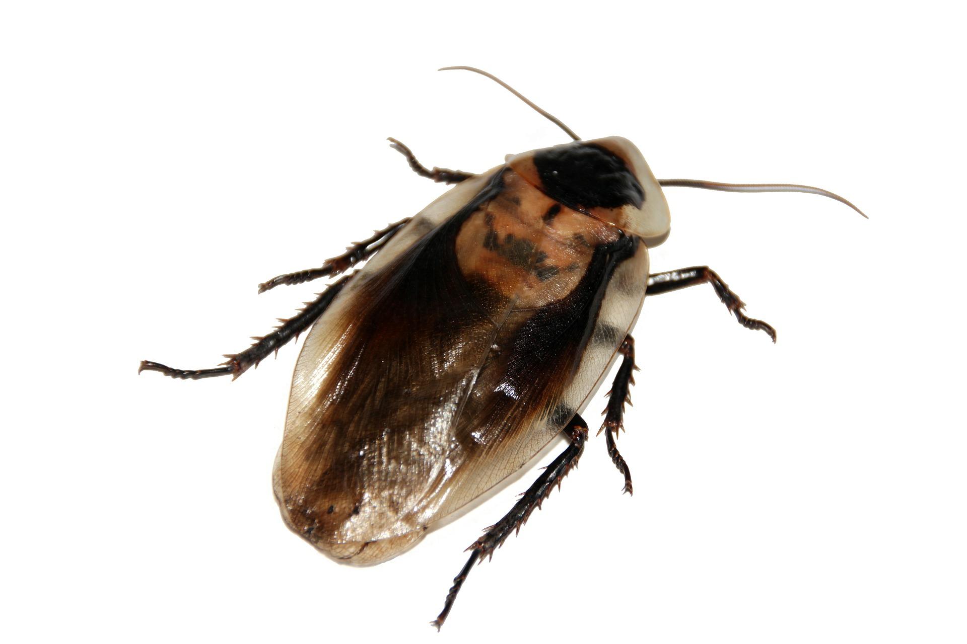 skuteczne zwalczanie karaluchów