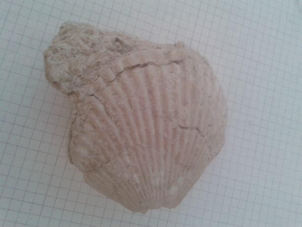 Fosil školjke