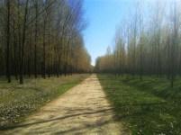 Šuma topole 1
